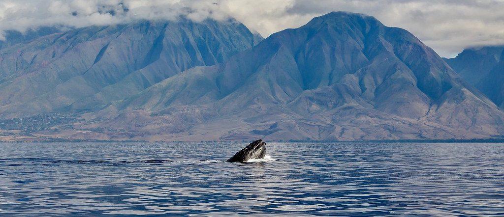 Whale Watching Cruises – Maui